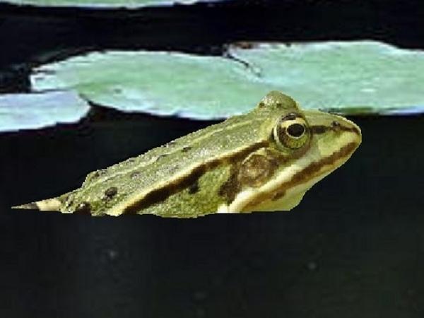 Sound Effect Frog Croaking