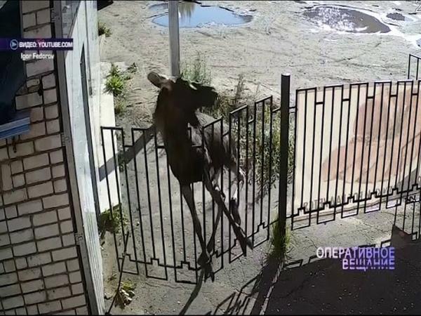 В Тутаеве лось снес ограду магазина
