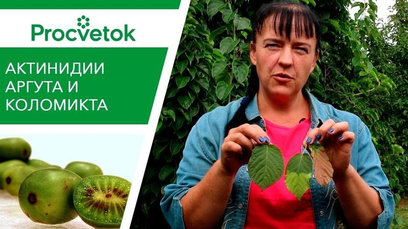 ОЧЕНЬ быстрорастущее растение Актинидия Аргута Вкусные ягоды заготовки на зиму