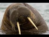 морж эклер