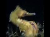 Размножение морских коньков
