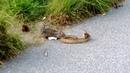 Esquilo ataca cobra esquilo vs cobra quem vence
