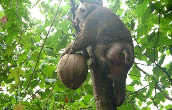 Обязьяна, кокос и спящий турист