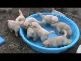 Пятинедельные щенки золотистого ретривера. Ретривер. Породы собак