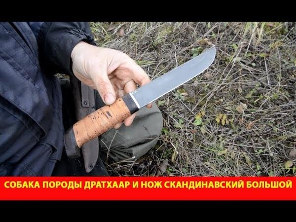Собака породы дратхаар и нож Скандинавский большой