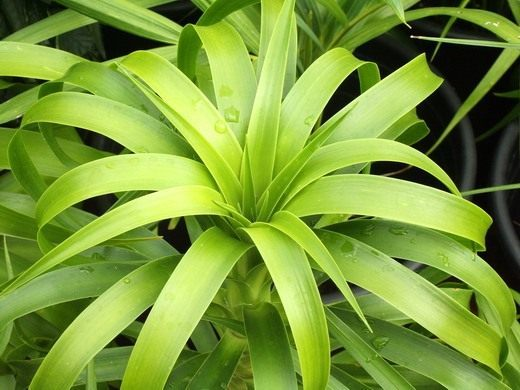 драцена ложная пальма в последнее время драцену полюбили многие ценители комнатных растений. это растение насчитывает огромное количество видовых форм, которые отличаются друг от друга формой и
