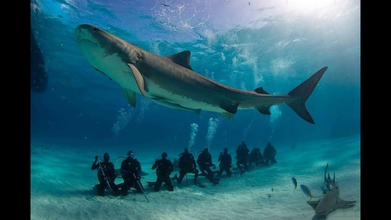 Nat Geo Wild: Ужас тигровой акулы (1080р)