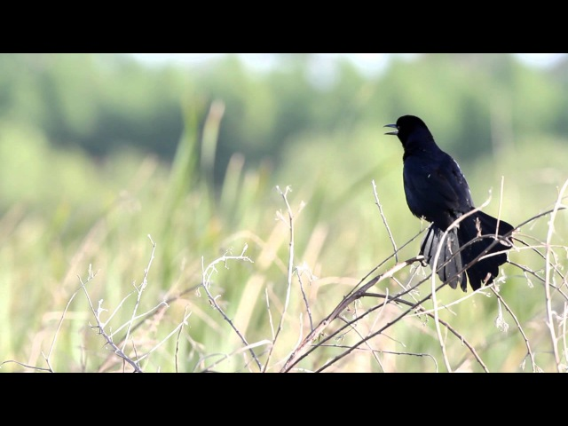 Boat-tailed grackle / Лодкохвостый гракл / Quiscalus major