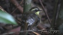 Yellow-throated scrubwren / Желтогорлая кустовка / Sericornis citreogularis