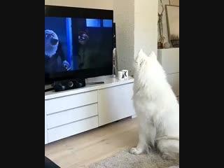 Собака смотрит свой любимый мультфильм. Видео прикол