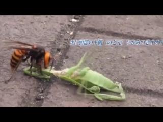 Версус - Шершень против скорпиона, тарантула, богомола