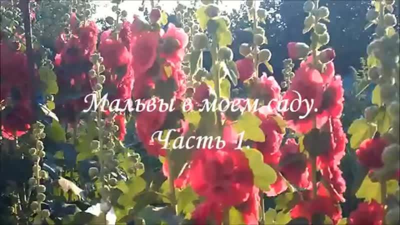 Мальвы шток розы в моем саду Часть 1 MALVA Very beautiful music