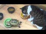 Черепашка-нинзя VS котэ