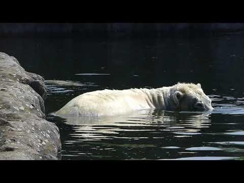 Eisbär Polar Bear Nanook Lara - ZOOM Gelsenkirchen III