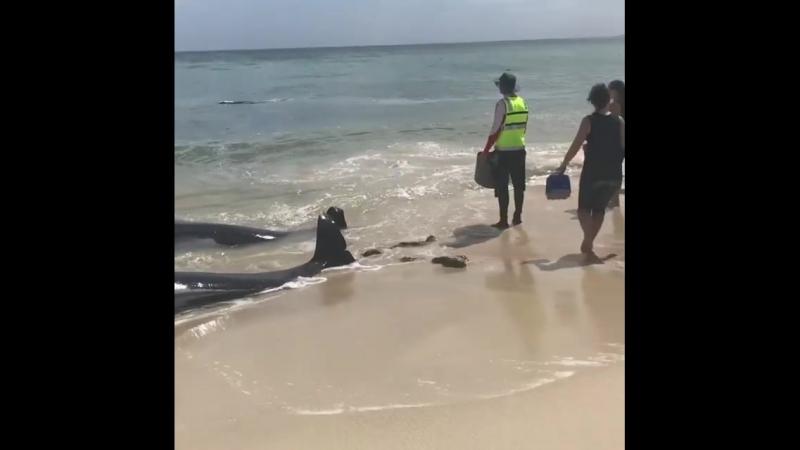 Массовая гибель дельфинов-гринд в Австралии