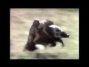V-s.mobiОбезьяны убегают верхом на диком кабане. Неуловимые мстители и реальной жизни