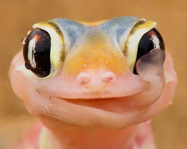 Геккон слизывает утреннюю росу с глаз. Эти ночные рептилии собирают воду на глазах рано утром после тумана над пустыней, а затем слизывают, чтобы напиться.