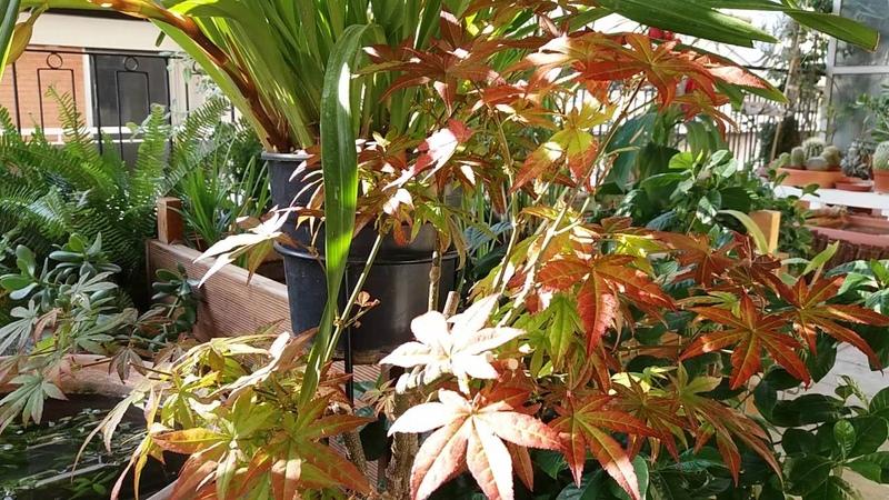 Acer или Японский клён листопадный карликовый подходит для бонсай выдерживает сильные морозы