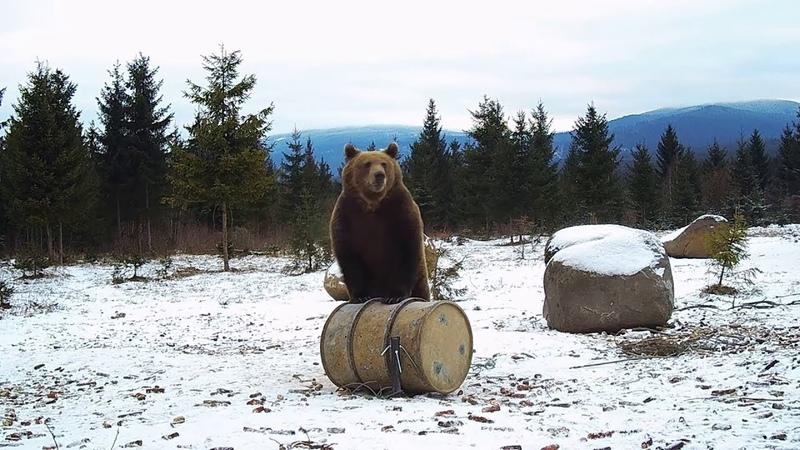 Bear Wildlife Compilation - Best of Bear Watching Transylvania (December)