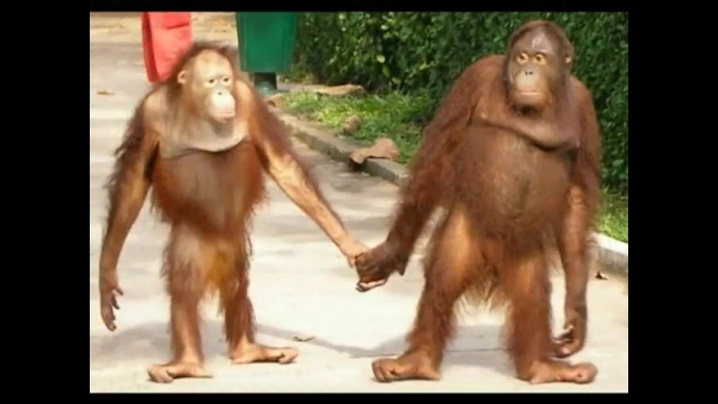 Orangutan couple