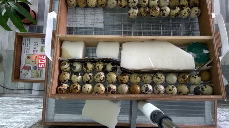 Инкубация перепелиных яиц. Закладка. Инкубатор Блиц 48.