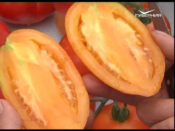 Хит-парад самых урожайных томатов. Дачные советы от 26.07.2018