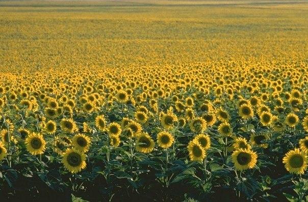 Ayçiçeği Güneşe Mi Bakar Yoksa Güneşe Sırtını Mı Döner