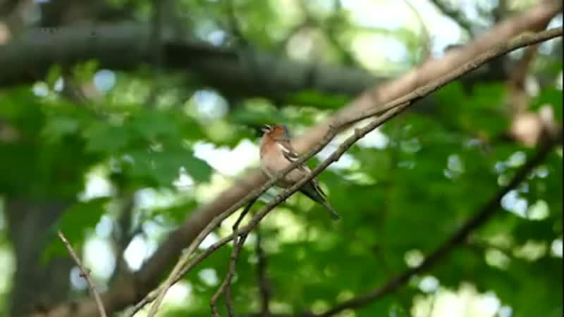 Пение зяблика. Голоса птиц. Common chaffinch song. AllVideo. ( 240 X 426 ).mp4