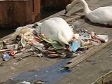 A swan built their nest out of garbage at an Amsterdam canal. This is the world weve helpe