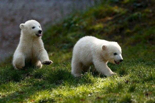 Детёныши белого медведя по имени