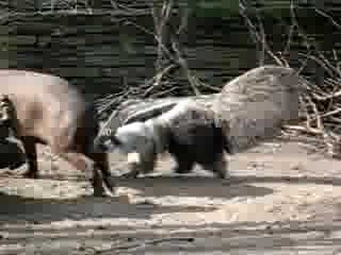 Giant anteater hunting tapir