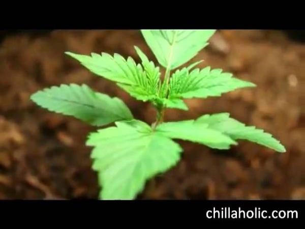 Как растет конопля - от семени до шишки