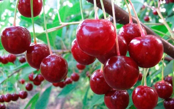 как ухаживать за вишней и добиться высокой урожайности: качество вкусного урожая напрямую зависит от многих факторов, однако, как ухаживать за вишней, добиться хорошего плодоношения знают не