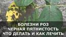 Болезни Роз на Листьях Появились Пятна что Делать и чем Лечить Розы