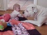 Super dangerous American bulldog is babysitting.