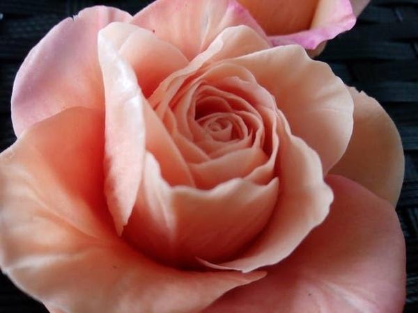 Роза в оранжеввых тонах. Холодный Фарфор МК от Риты.Rose in orange. Cool MK Porcelain from Rita
