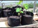 Выращивание саженцев винограда в домашних условиях Болезни