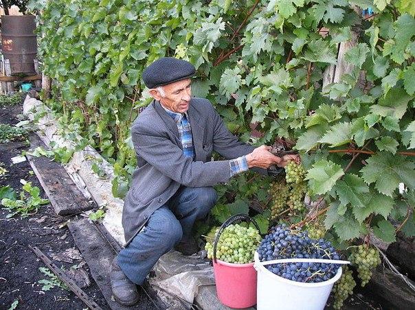 Хотите иметь свой виноград – это реальность. Для этого надо иметь