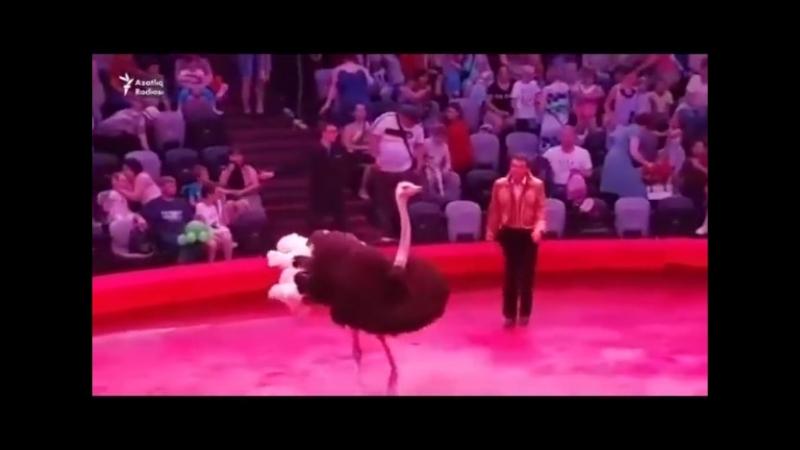 Взбесившийся страус