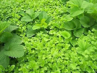 Посев горчицы для удобрения почвы