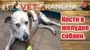 Vet Ranch на русском Кости в желудке собаки We Found Bones in Her Stomach