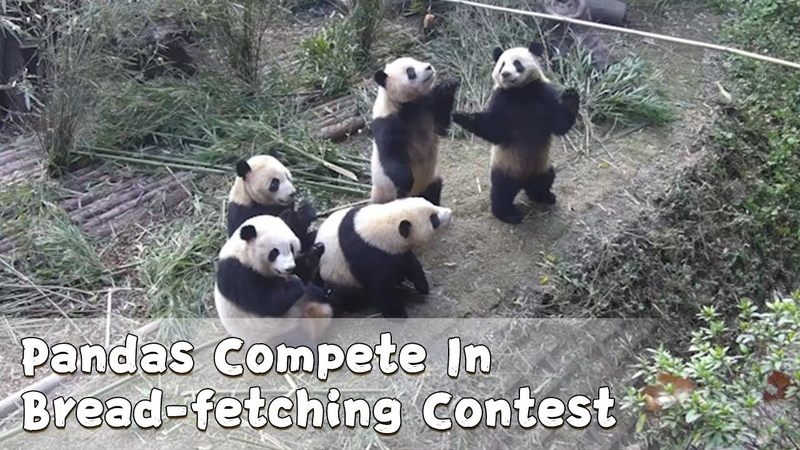 Pandas Compete In Bread-fetching Contest | iPanda