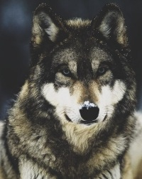 Big-Bad Wolf, 17 ноября , Йошкар-Ола, id181652783