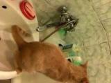 Как приучить кота гадить в раковину / How to train your cat to poop in the sink