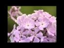 Флоксы, многолетние цветы в саду Посадка и уход