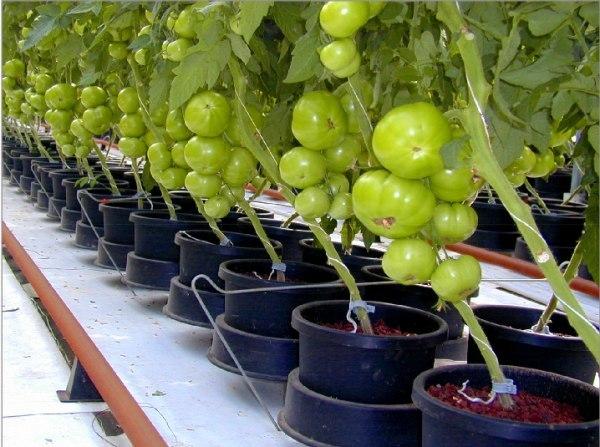 выращиваем томаты в ведрах! томат - один из любимых всеми видов овощей, без которых не обходится наш стол круглый год. свежие томаты имеют лекарственные свойства и широко используются в