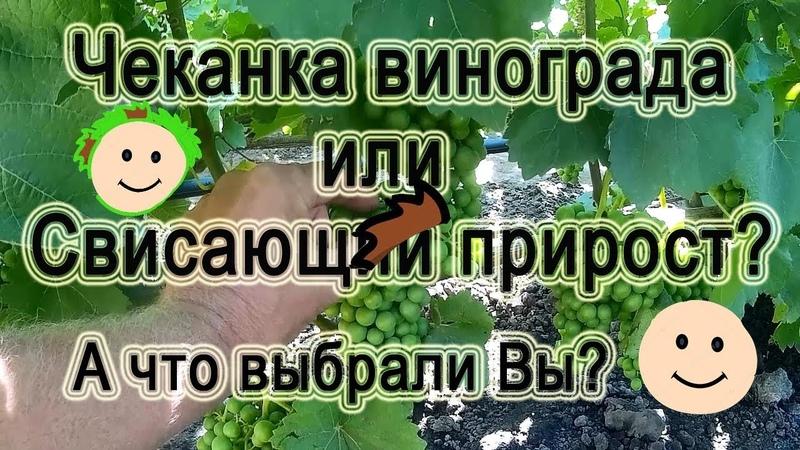 ЧекаНкА ВиногрАда иЛи СвисаЮЩий ПриРост А что Вы ВыбРаЛи