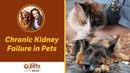 Хроническая почечная недостаточность у домашних животных Chronic Kidney Failure in Pets