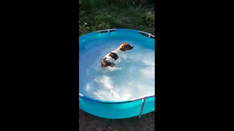 Джек Рассел купается