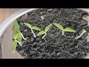 Первые всходы рассады помидоров, подвожу итоги.